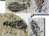 Отпечаток ископаемых насекомых.