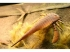 Отпечаток эвриптеруса (ракоскорпиона).