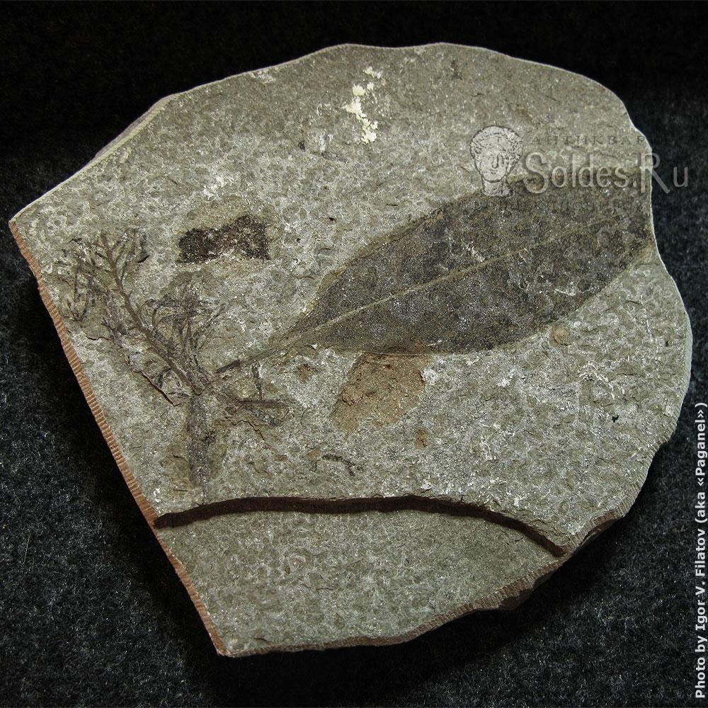 Отпечаток ископаемой флоры.