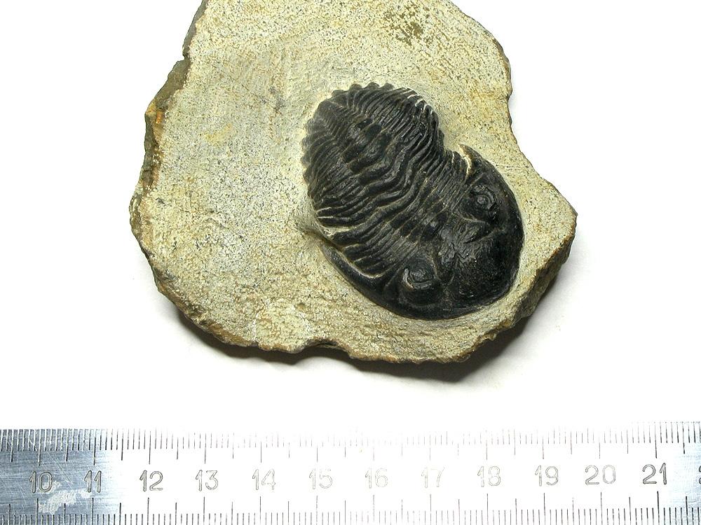 Трилобит Phacops sp. #15