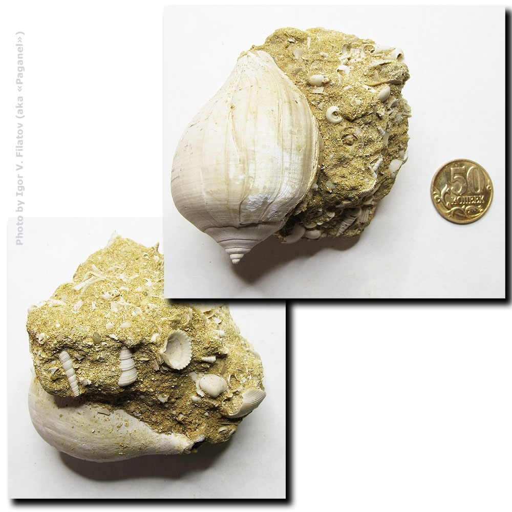 Раковина ископаемого моллюска.