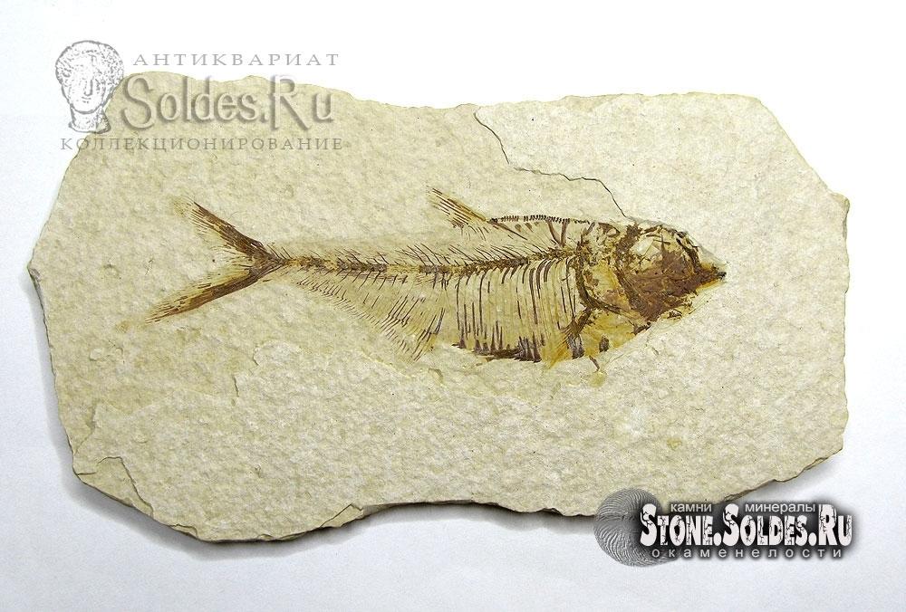 Отпечаток ископаемой рыбы.